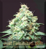 Bomb Kush Bomb Female 10 Marijuana Seeds